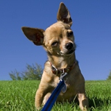 chihuahua leash